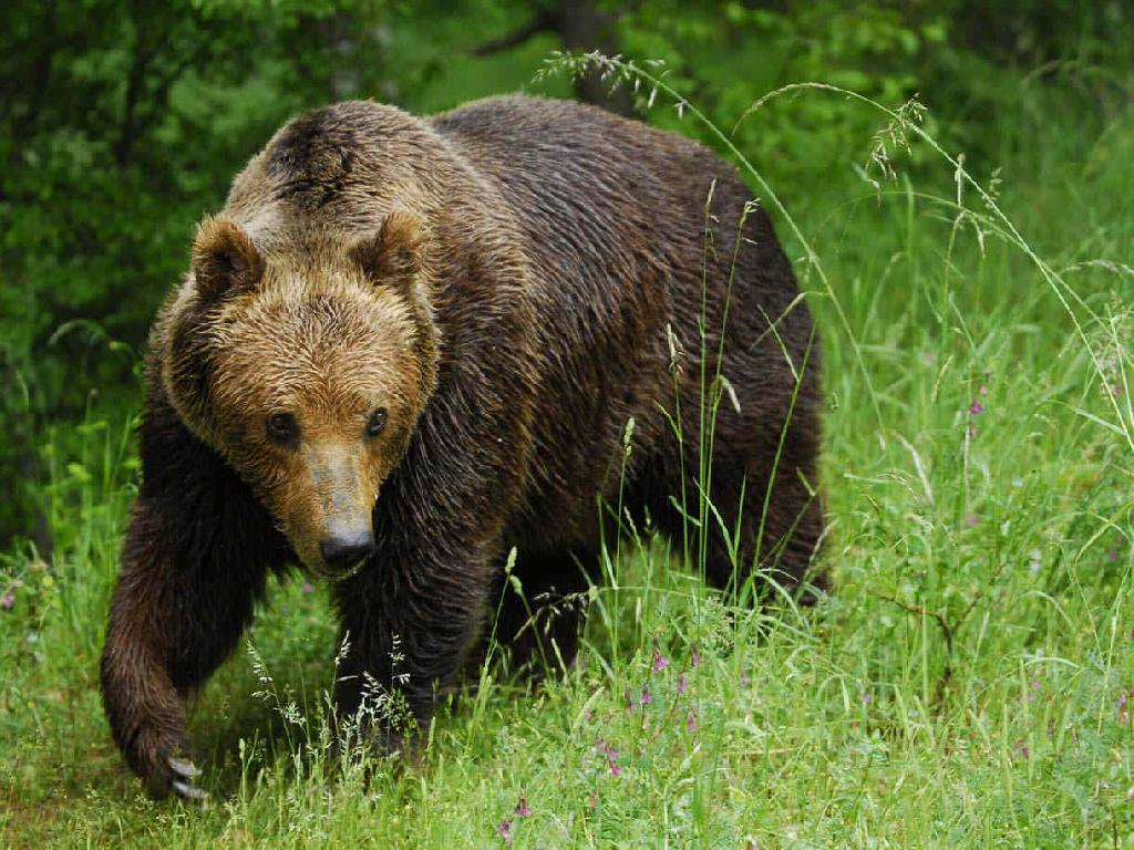 Marsican (Appenine) brown bear – Bear Conservation