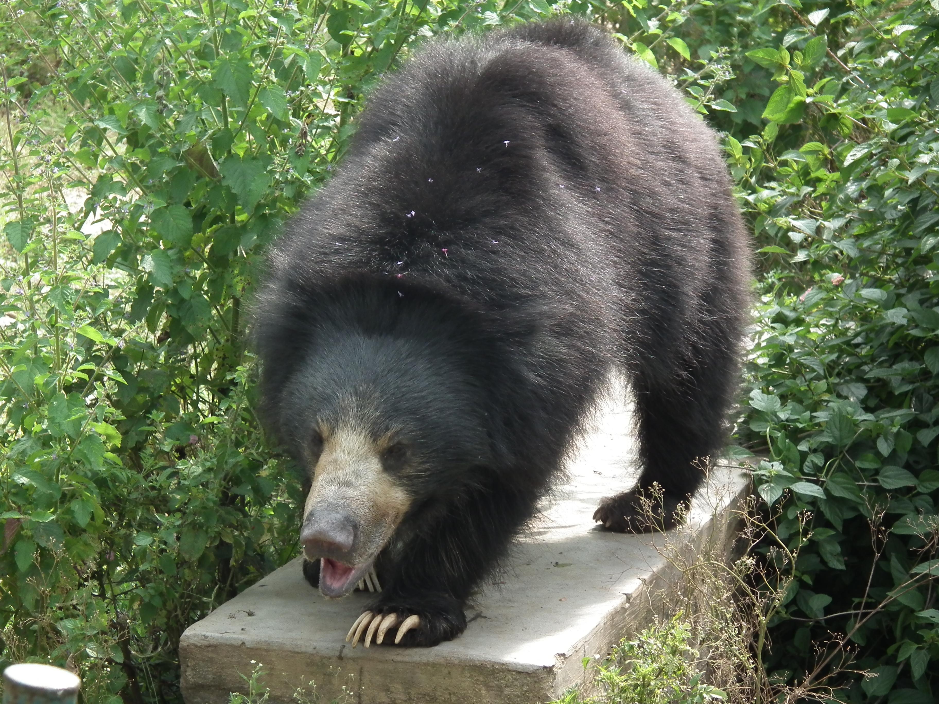 Dancing bear adult - 5 8