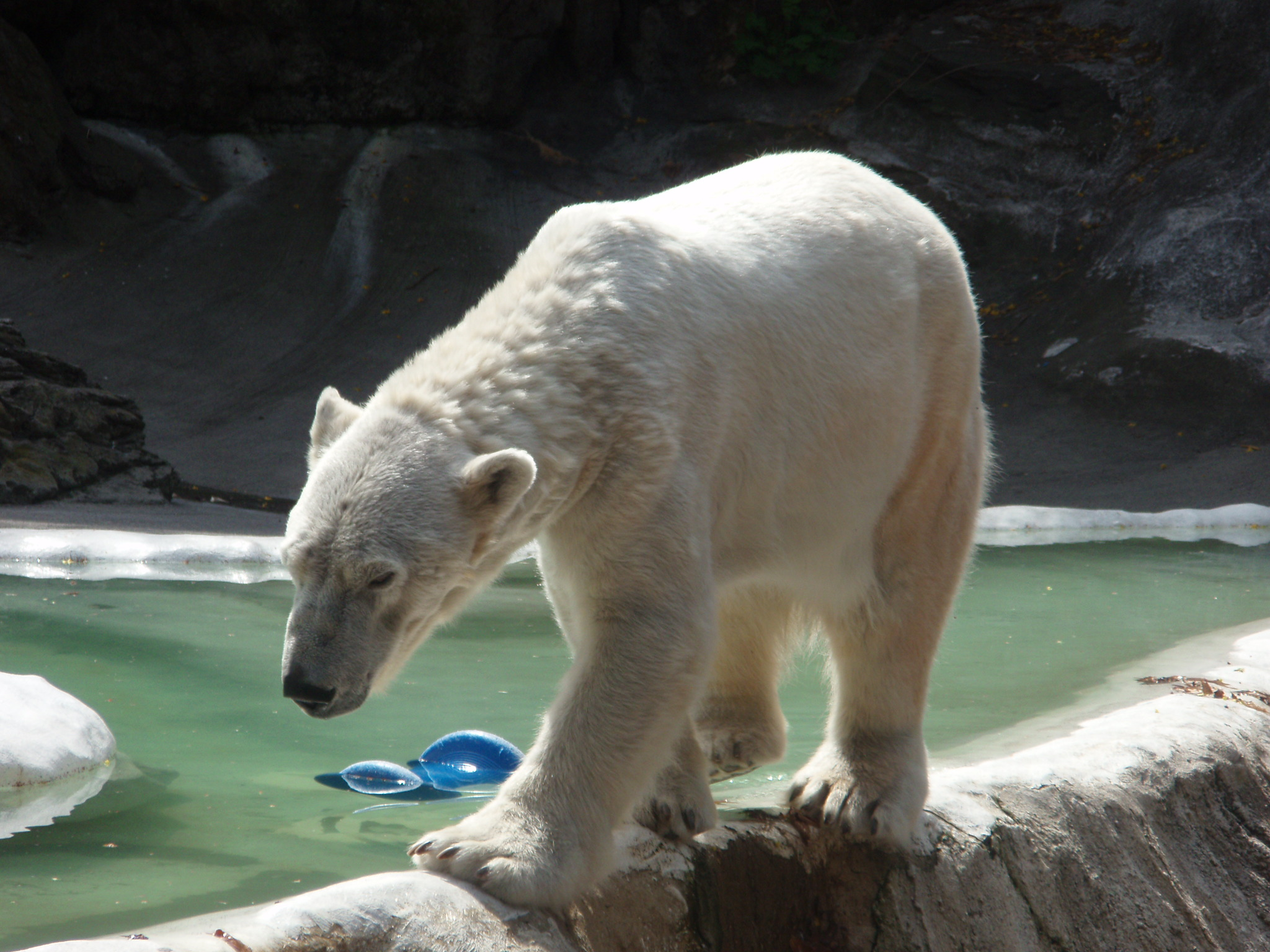 Polar bears in zoos �...