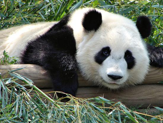 1280px-Atlanta_Zoo_Panda