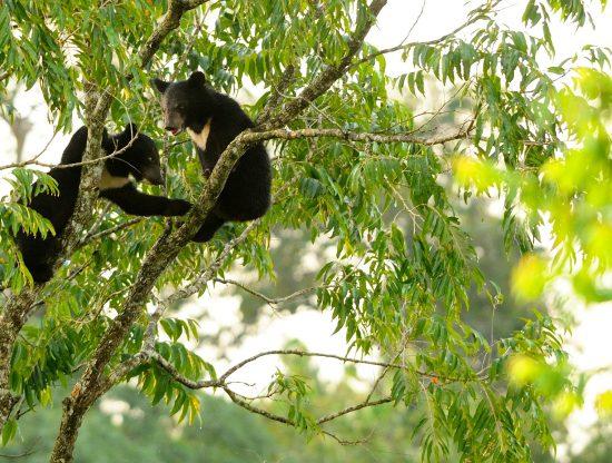 Asian Black Bear cubs, Ursus thibetanus in Khao Yai national park