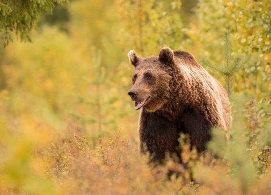 Brown Bear Photography Tour Autumn-5
