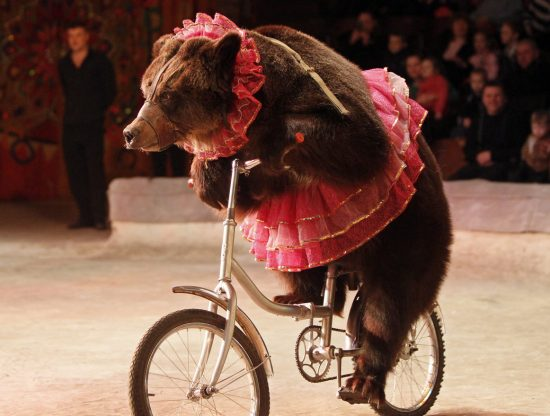 A bear rides a bicycle during a show presenting the new program