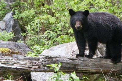 Climate moving south Canadian black bear_0