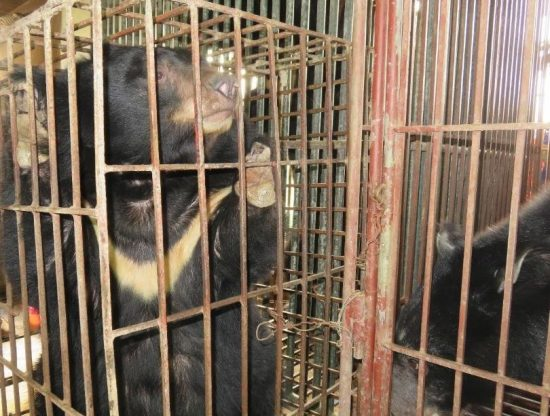 Female-Asiatic-black-bear-left-held-on-a-bear-bile-farm-in-Vietnam-in-2016-The-injury