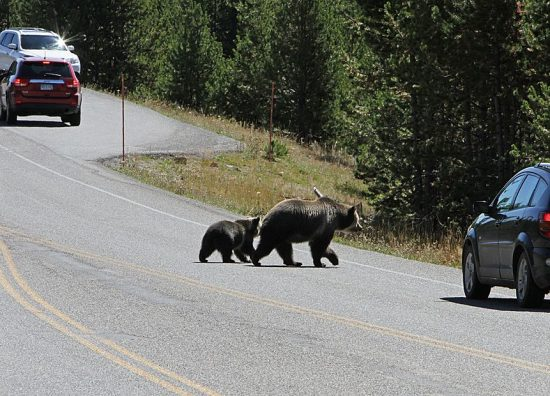 Grizzly_sow_and_cub_crossing_road_(15258797231)