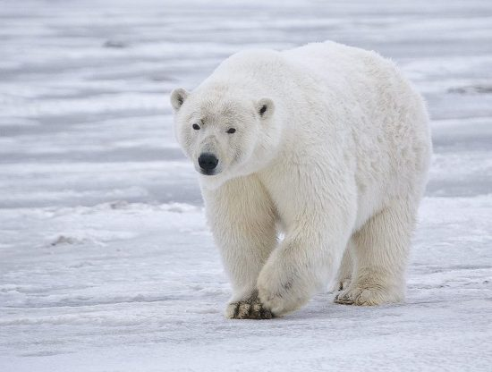 Long polar bear