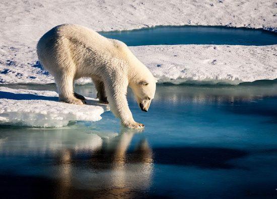 Polar_Bears_Across_the_Arctic_Face_Shorter_Sea_Ice_Season_(29664357826)_(2)
