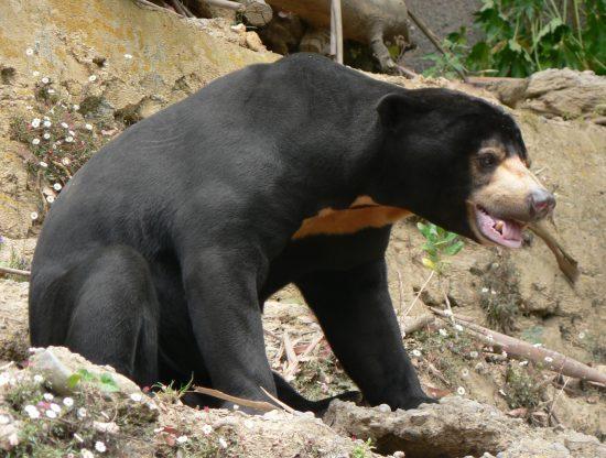 Sun_Bear,_Pengo