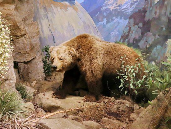 Ursus_arctos_californicus_Santa_Barbara_Natural_History_Museum-1024x683