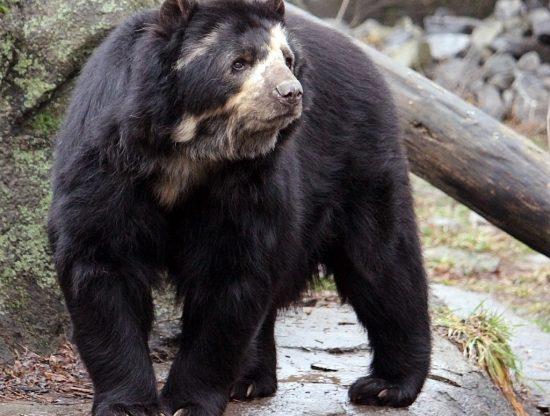 spectacled_bear_stock_3_by_hotnstock-d5j9b4g